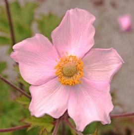 silvrig-hstanemon-robustissima-9cm-kruka-1