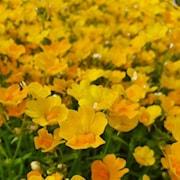 nemesia-sunsatia-pomelo---3-plantor-1