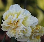 stjrnnarciss-ice-king-5st-1