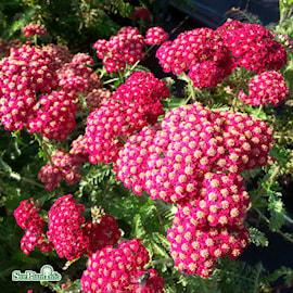 rllika-red-velvet-9cm-kruka-1