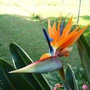 papegojblomma-9cm-kruka-1