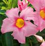 bgarranka-bella-pink-jewel-105cm-kruka-2