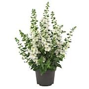 angelonia-archangel-white-105cm-kruka-1