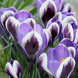 sardinienkrokus-spring-beauty-storpack-75st-1