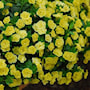 minipetunia-can-can-rosies-yellow-105cm-kruka-2
