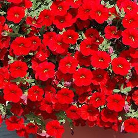 minipetunia-cabaret-bright-red-105cm-kruka-1