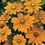 sommarrudbeckia-irish-spring-3