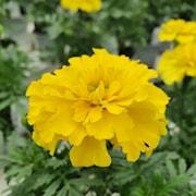 sammetstagetes-bonanza-yellow-9cm-kruka-1