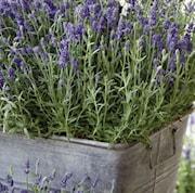 lavendel-ardeche-blue-1