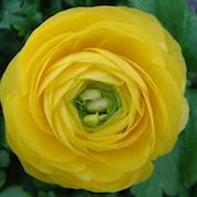 ranunkel-yellow-10st-1
