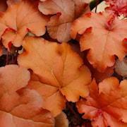alunrot-indian-summer-boysenberry-12cm-kruka-1