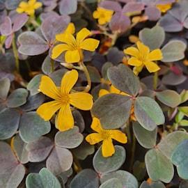 triangeloxalis-bora-105cm-kruka-1