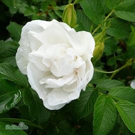 parkvildros-blanc-double-de-coubert-a-kval-co-1