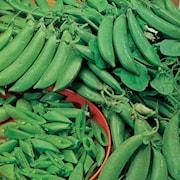 sockerrt-1-planta-9cm-kruka-1