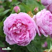 bourbonros-blomsterhult-gk-7cm-kruka-1