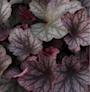 alunrot-carnival-rose-granita-12cm-kruka-2