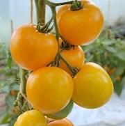 tomat-lemon-boy-9cm-kruka-1