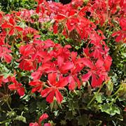 hngpelargon-mini-balcon-red-105cm-kruka-1
