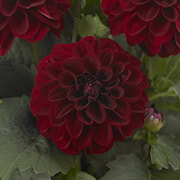 dahlia-gardenetta-dark-red-105cm-kruka-1