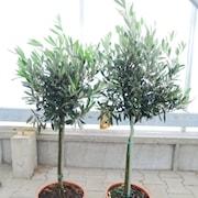 olivtrd-stam-50-60cm-16cm-kruka-1