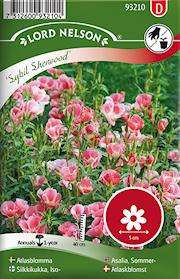 atlasblomma-sybil-sherwood-rosa-1