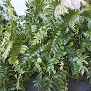 mahoniabrken-12cm-kruka-1