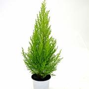 montereycypress-citroncypress-wilma-11-cm-kru-1