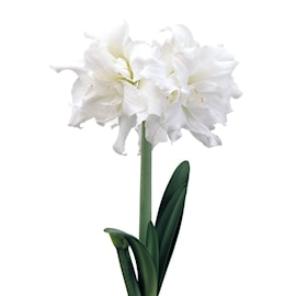 afrikansk-amaryllis-snow-white-1st-1