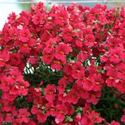 nemesia-raspberry-12cm-kruka-1