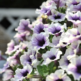 sweetunia-purple-spotlight---3-plantor-1