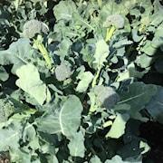 320-sparrisbroccoli-sibsey-f1-1