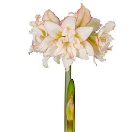 afrikansk-amaryllis-harlequin-1st-1