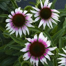 rd-solhatt-halo-white-purple-105cm-kruka-1