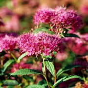 rosenspirea-anthony-waterer-3-35-l-co-1
