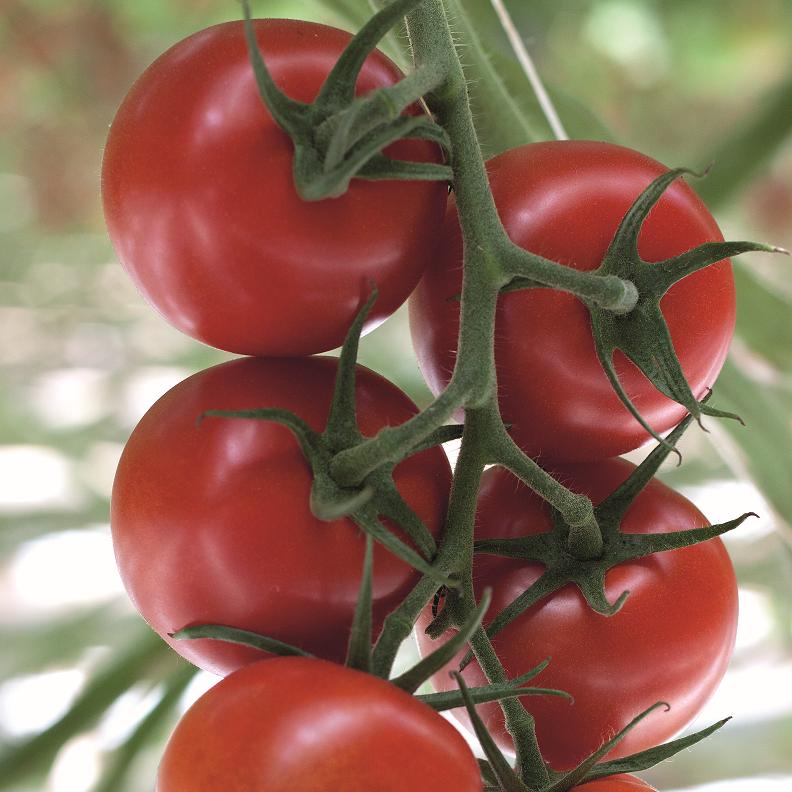 385/ Tomat (Klassiskt rund) 'Avalantino' F1