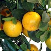 apelsin-arancio-stam-1
