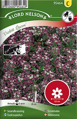 strandkrassing-violett-queen-1