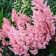 astilbe-lollipop-1st-barrotad-1