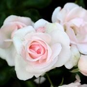 rabattros-aspirin-rose-barrotad-1