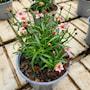 gonblom-twinklebells-pink-12cm-kruka-2