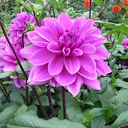 dahlia-lilac-time-1st-1