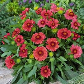 kokardblomster-arizona-red-shades-17-19cm-kru-1