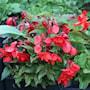 begonia-odorata-red-glory-2st-2