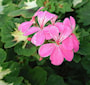 brokbladig-pelargon-pink-happy-thought-12cm-k-1