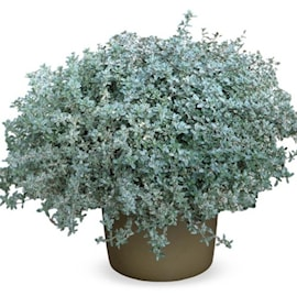 kryddtimjan-silver-posie-105cm-kruka-1