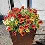 ampelmix-beautycal---3-plantor-1