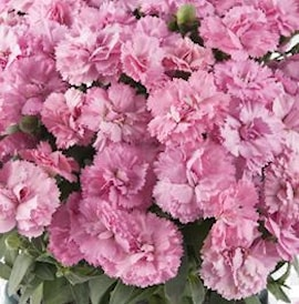 trdgrdsnejlika-code-rose-9cm-kruka-1