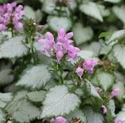 rosenplister-pink-chablis-105cm-kruka-1