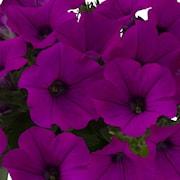 petunia-viva-purple-exp-105cm-kruka-1