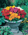 sommardahlia-dwarf-double-mixed-8